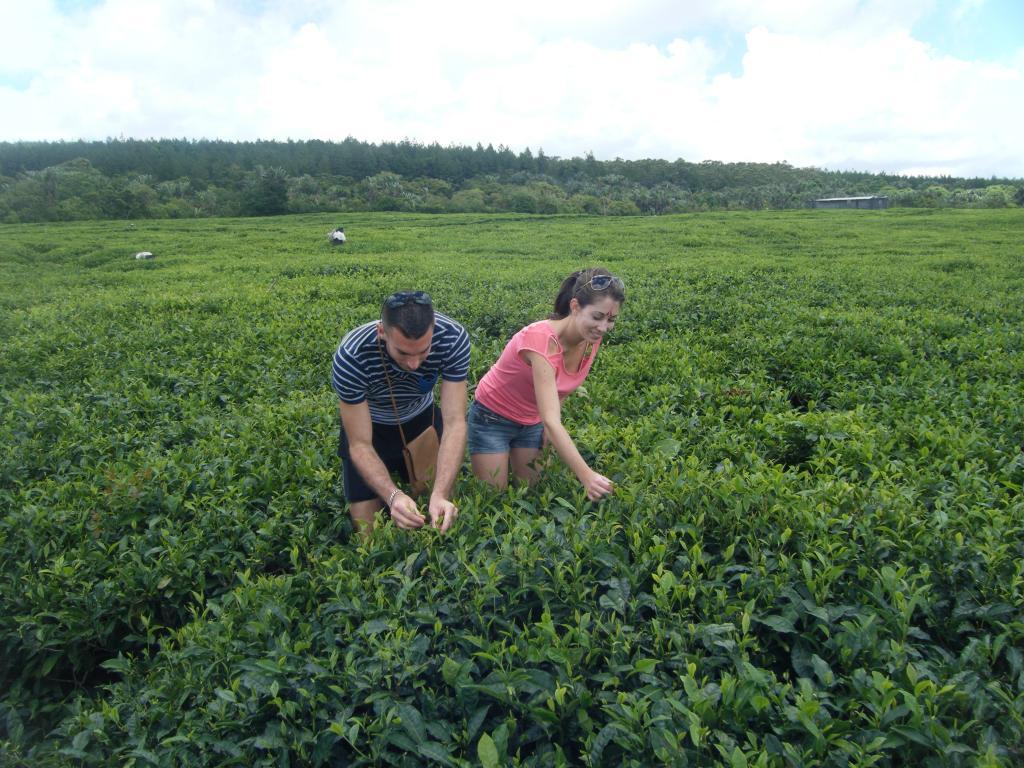 plantation-du-the